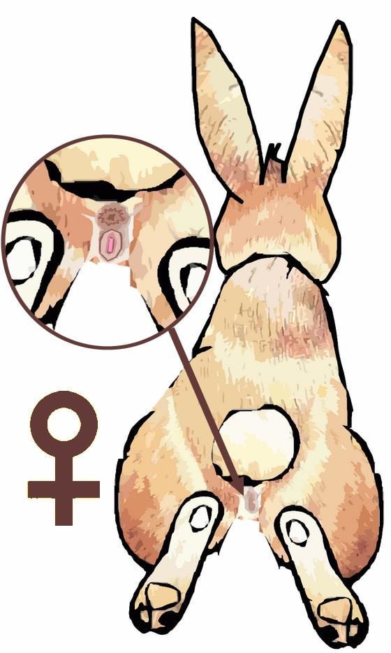 Comment reconnaitre le sexe de mon lapin blier