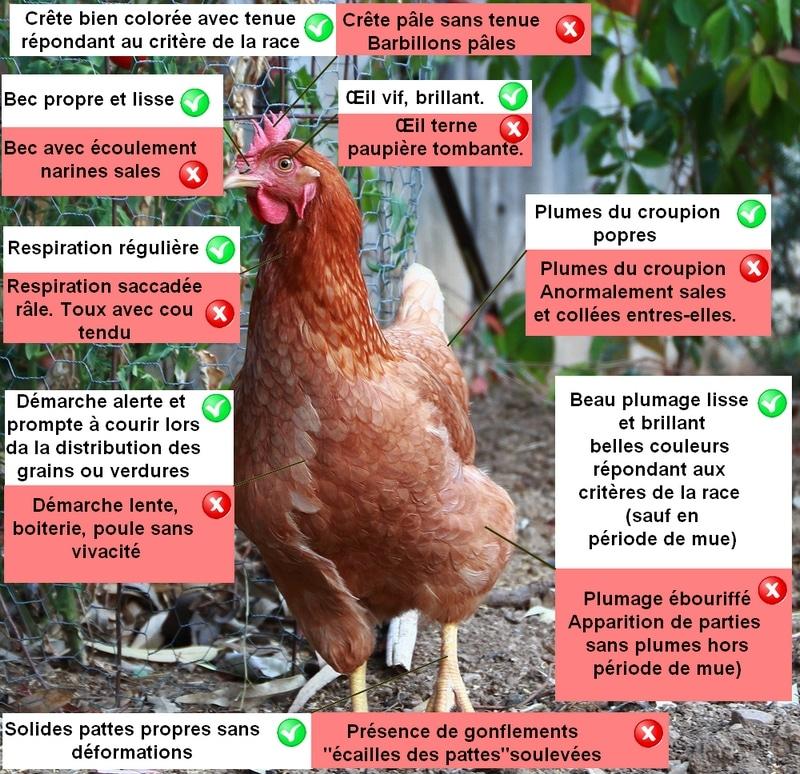Comment reconnaitre une poule malade poulailler bio - Image d une poule ...